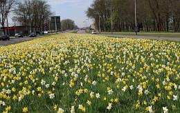 Daffodils mixture