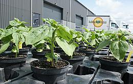 Zonnebloemen kweken: een uniek ontwikkelproces