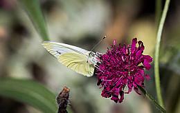 Lubbe Lisse zet zich in voor de vlinder door bloembollenmengsel en bijdrage De Vlinderstichting